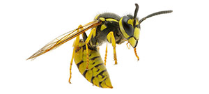 treat a wasp sting